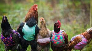 Chickens, Chickens and more Chickens